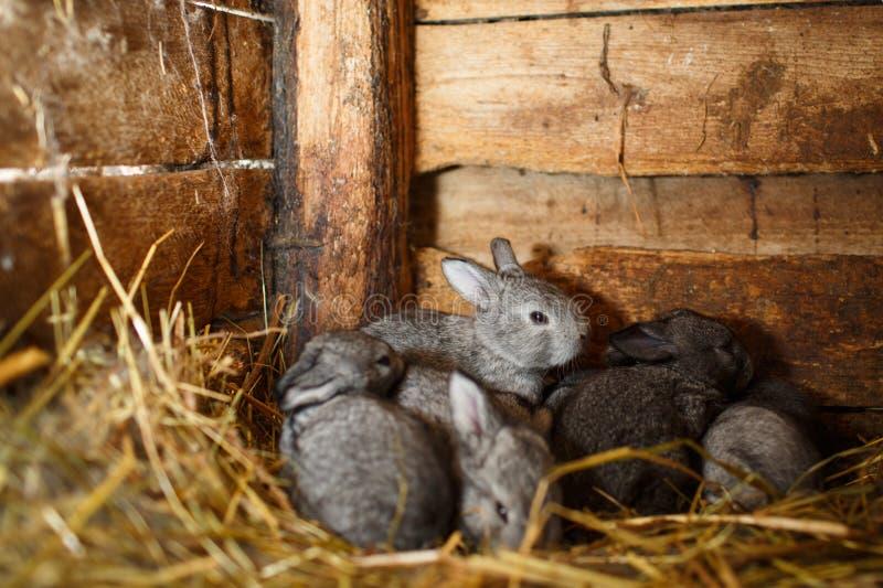 Barnkaniner i en hutch arkivfoton