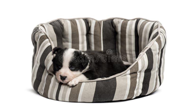 Barnkorsningvalp som sover i en lathund royaltyfri fotografi