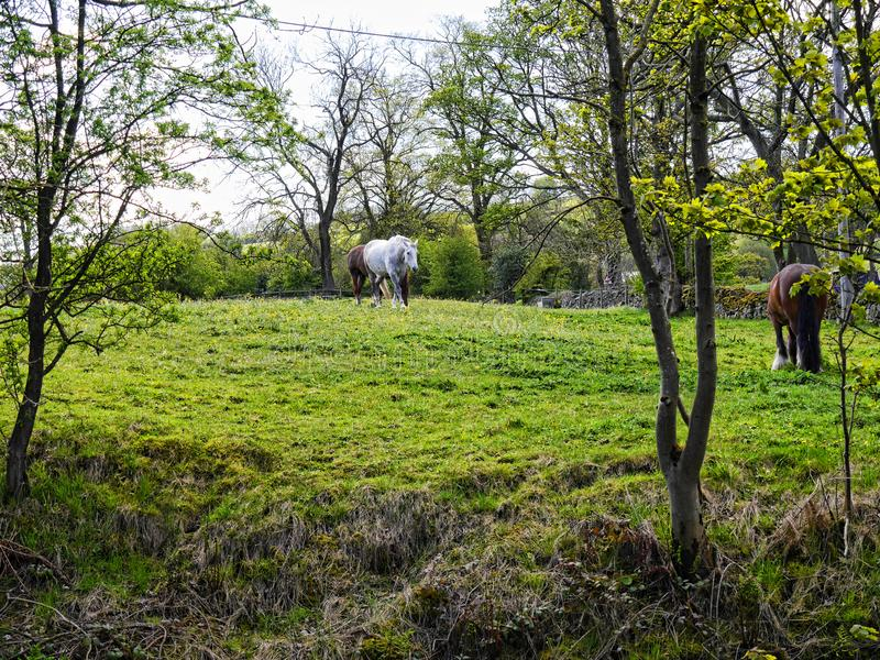 Horses in field by the Leeds Liverpool Canal at Barnoldswick in Lancashire UK. Barnoldswick on the Leeds Liverpool canal in springtime. This is a popular area royalty free stock photo