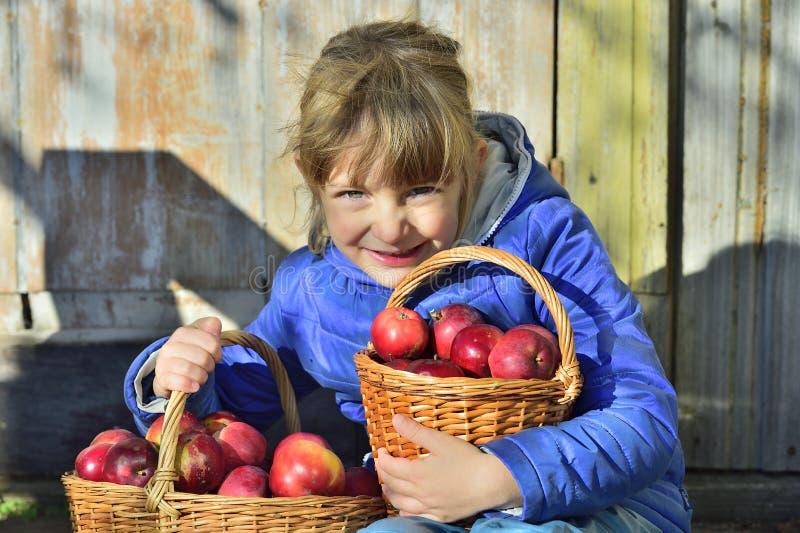 Barnplockningäpplen på en lantgård i höst Liten flicka som spelar i fruktträdgård för äppleträd Ungehackafrukt i en korg Utomhus- fotografering för bildbyråer