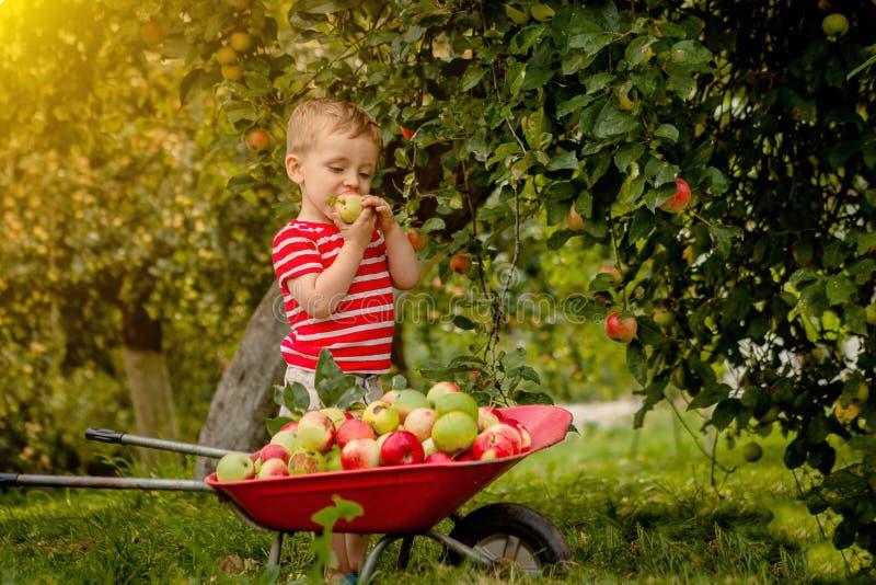 Barnplockningäpplen på en lantgård Pys som spelar i fruktträdgård för äppleträd Lura hackafrukt och sätt dem i en skottkärra Beha arkivfoton