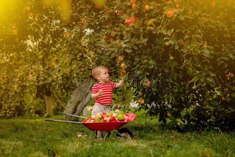 Barnplockningäpplen på en lantgård Pys som spelar i fruktträdgård för äppleträd Lura hackafrukt och sätt dem i en skottkärra Beha arkivbild