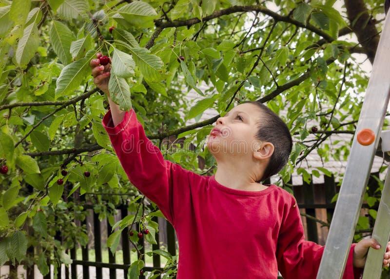 Barnplockning och ätakörsbär royaltyfri foto