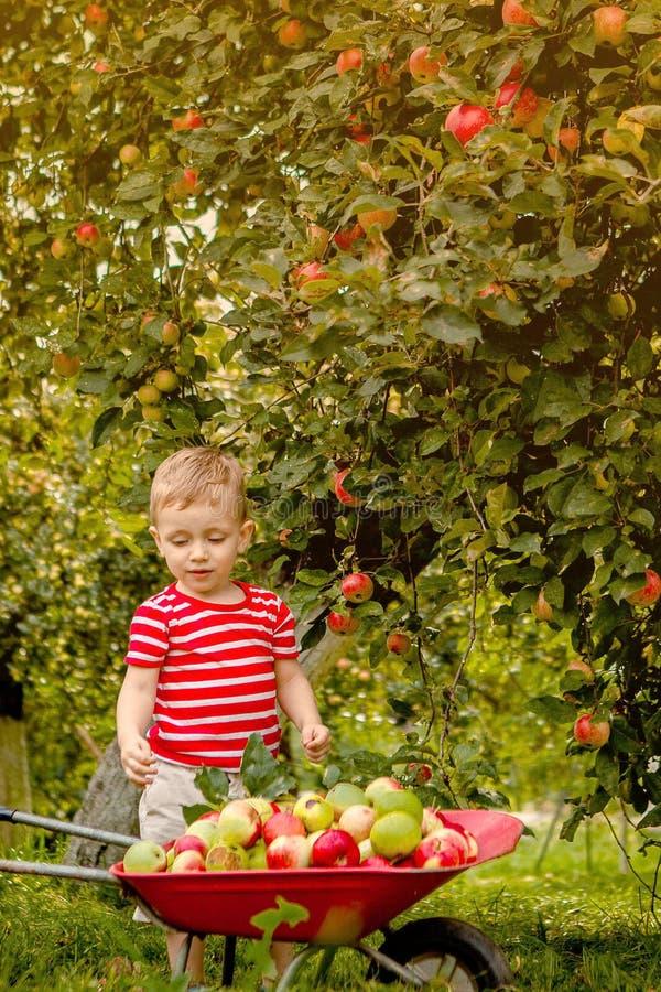 Barnplockning?pplen p? en lantg?rd Pys som spelar i frukttr?dg?rd f?r ?ppletr?d Lura hackafrukt och s?tt dem i en skottk?rra Beha arkivbild