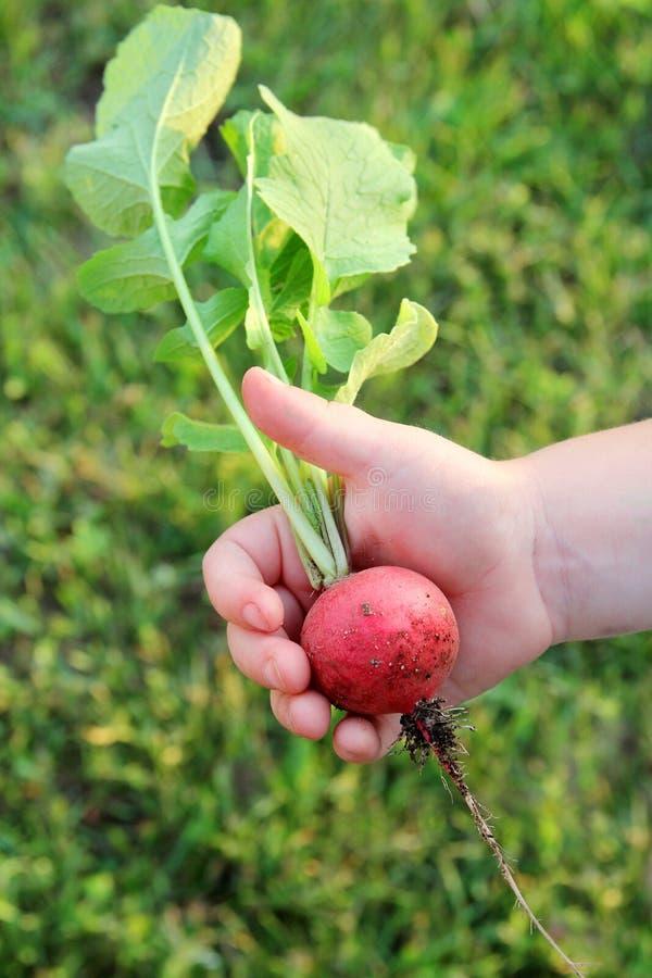 Barns hand som rymmer den stora nya trädgårds- rädisan arkivfoton