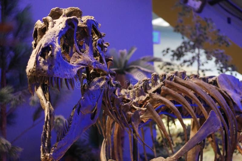 Barns skärm för museumdinosaurie - tyrannosarie T Rex ben arkivbild