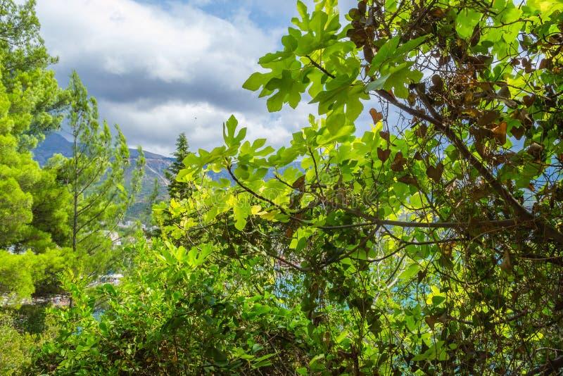 Barnsidafikonträd på en solig dag Härlig plexus av filialer och lek av skugga och ljus fotografering för bildbyråer