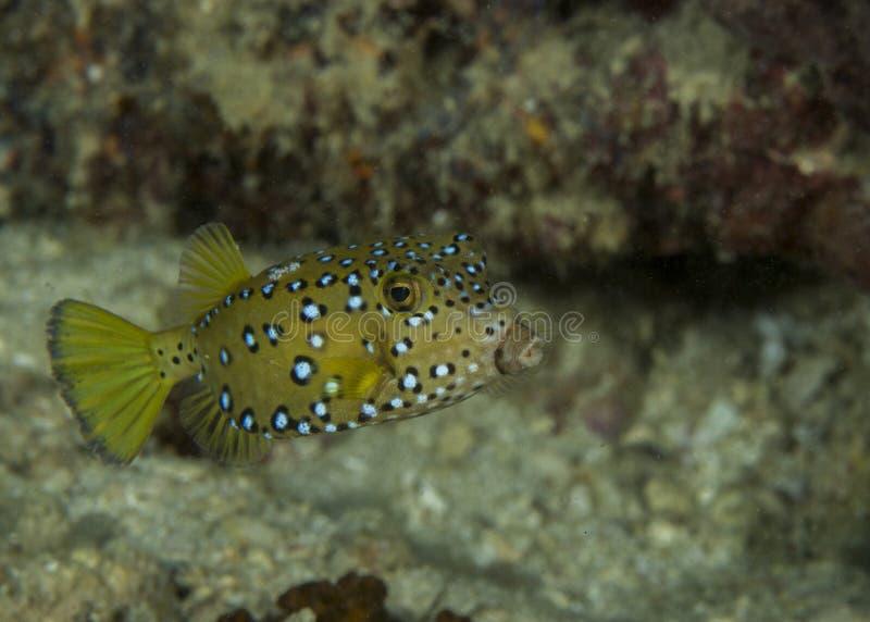 Barnslig boxfish royaltyfri bild