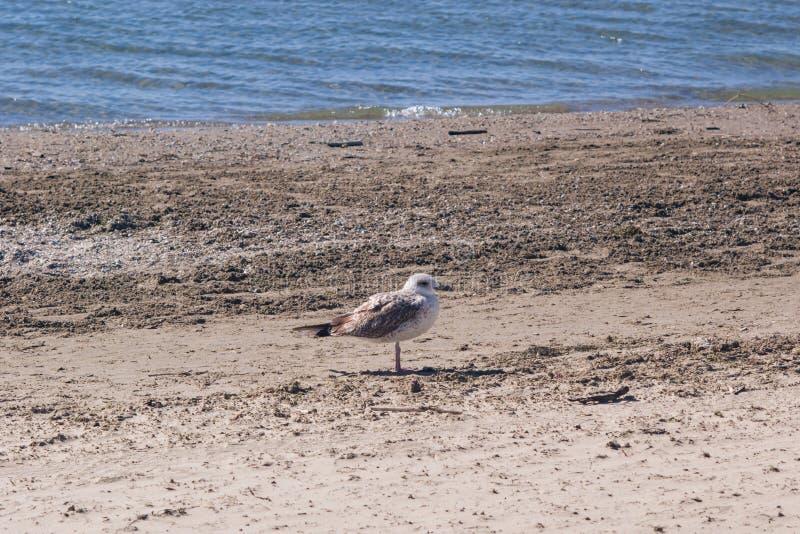 Barnslig europeisk sillfiskmås eller stående för Larusargentatusnärbild på havskusten, selektiv fokus, grund DOF arkivfoto