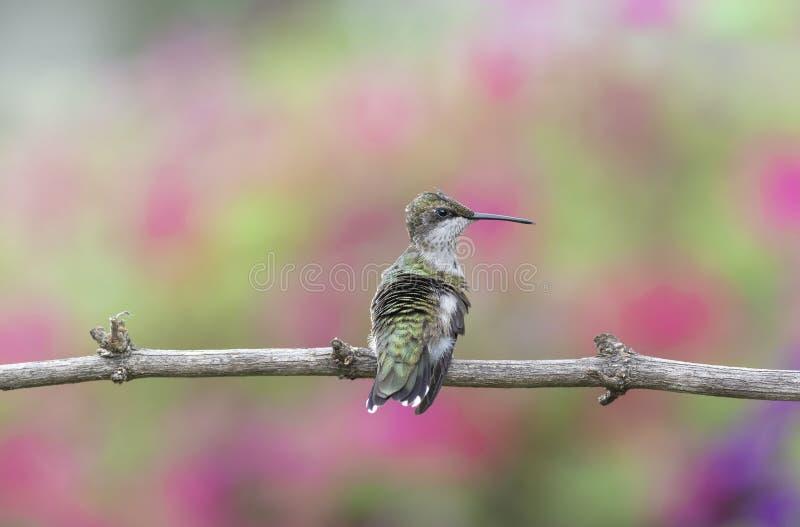 Barnslig manlig Rubin-throated kolibri som sätta sig i trädgården royaltyfri bild