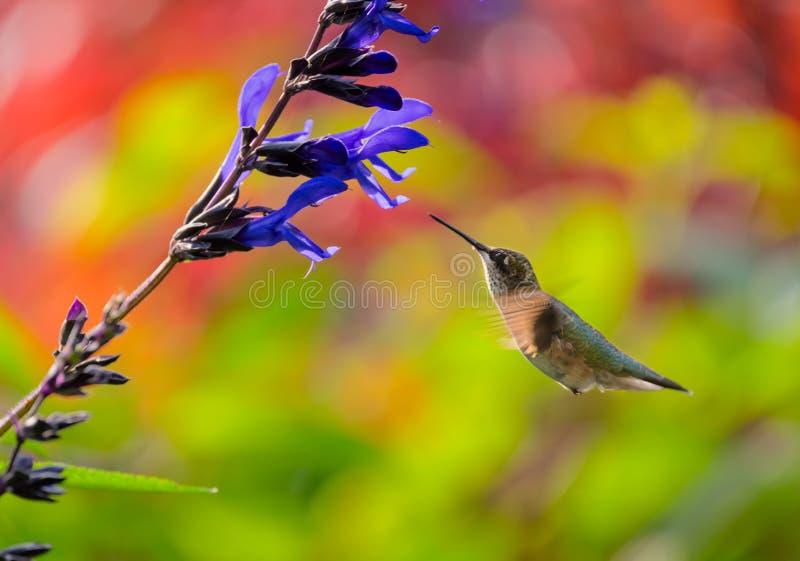 Barnslig Rubin-Throated kolibri som matar på en blomma royaltyfria foton