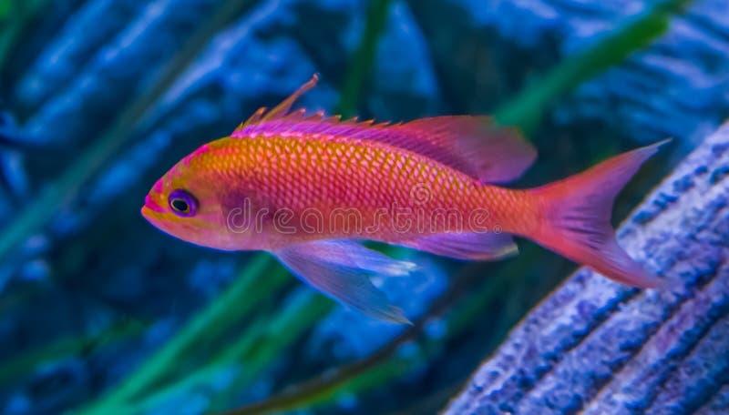 Barnslig shallowtailhavsabborre i closeup, f?rgrik tropisk fisk fr?n det medelhavs- och Black Sea royaltyfri bild