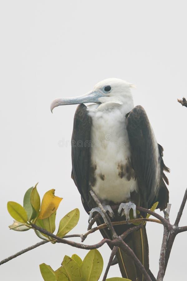 Barnslig storartad fregattfågel på filial royaltyfria bilder