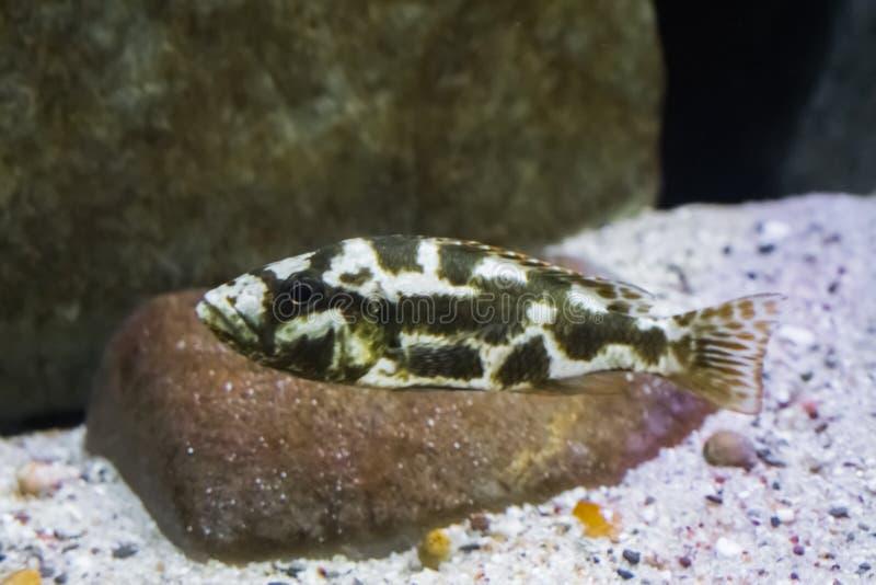 Barnsliga livingstons cichlid, ung fisk med svarta fläckar och vit färg, ett tropiskt husdjur från den afrikanska klyftasjön fotografering för bildbyråer