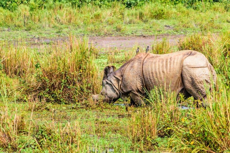 Barnsliga större en-horned noshörningnoshörningunicornis i den Chitwan nationalparken, Nepal En-horned noshörningnoshörningunicor royaltyfria bilder