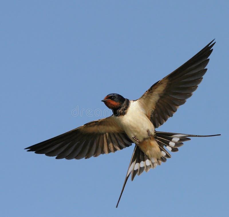 Barnswallow images libres de droits