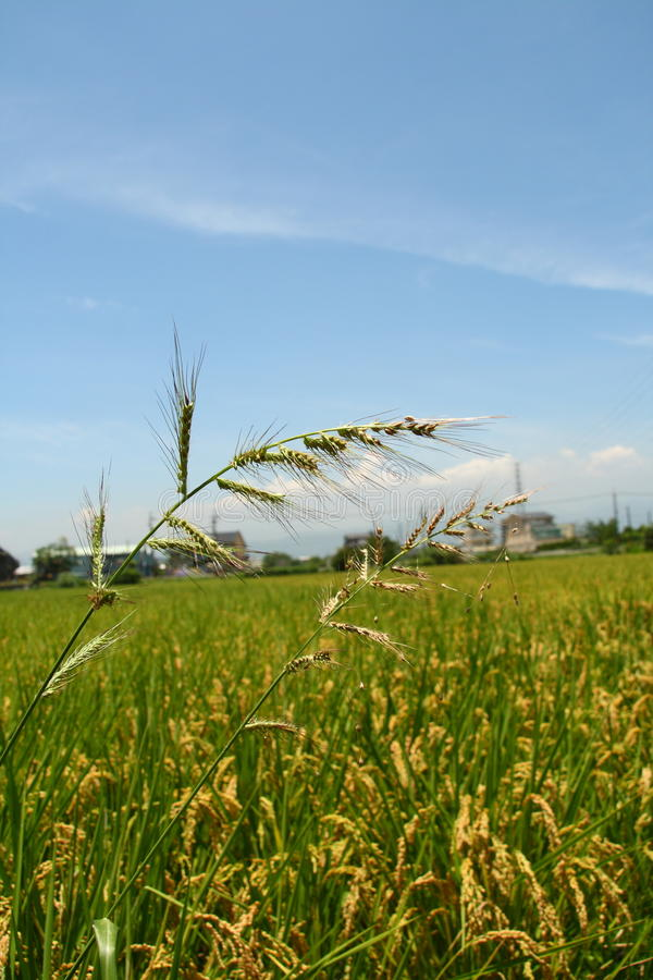 Barnyard Grass. In the farm royalty free stock photography
