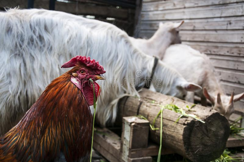 In the barnyard. Herbivorous goats and eating grass .Free-range livestock stock photo
