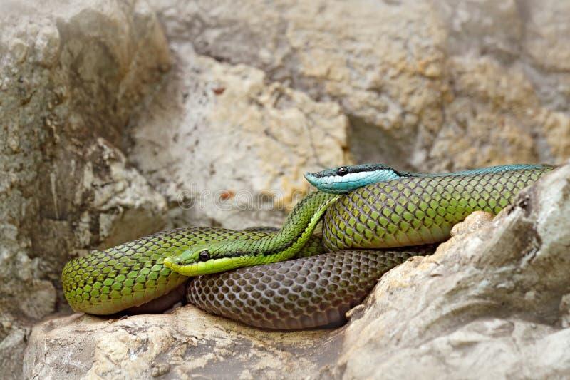 Baroni de Philodryas, coureur de vert du ` s de baron, habitat proche en pierre de rivière Scène de faune de nature Serpent de Bo photographie stock libre de droits