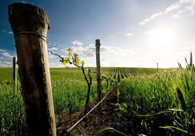 Barossa的葡萄园 库存图片