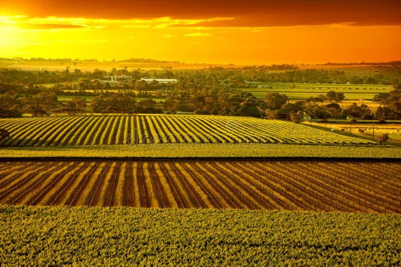 Barossa Weinberge Australien lizenzfreie stockfotos