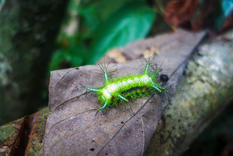 Barra de picadura Caterpillar, parque nacional de Taman Negara, Malasia fotografía de archivo libre de regalías