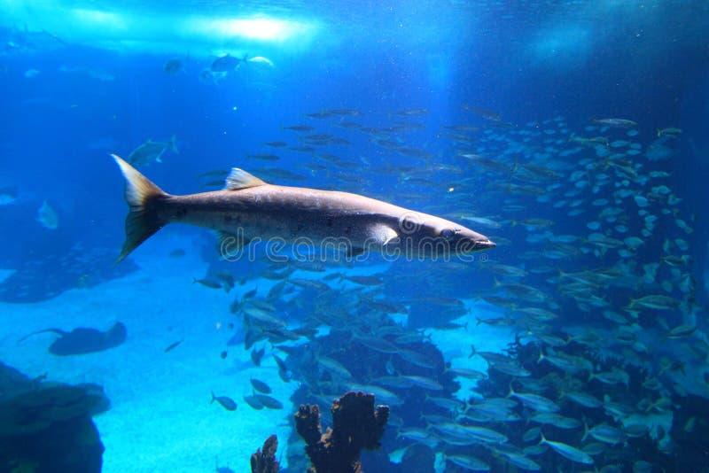 barracuda μεγάλο στοκ εικόνες