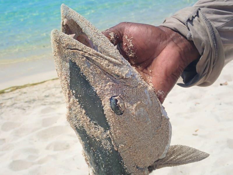 Barracuda που αλιεύει στον ωκεανό στοκ εικόνες με δικαίωμα ελεύθερης χρήσης