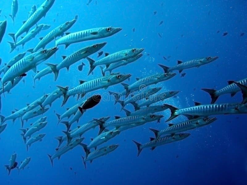barracuda υποβρύχιο στοκ εικόνες