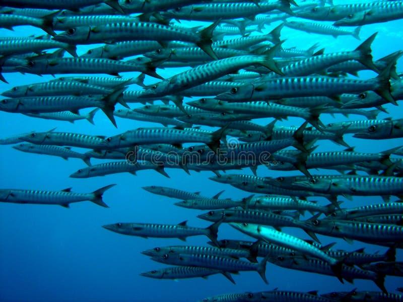barracuda arkivbild