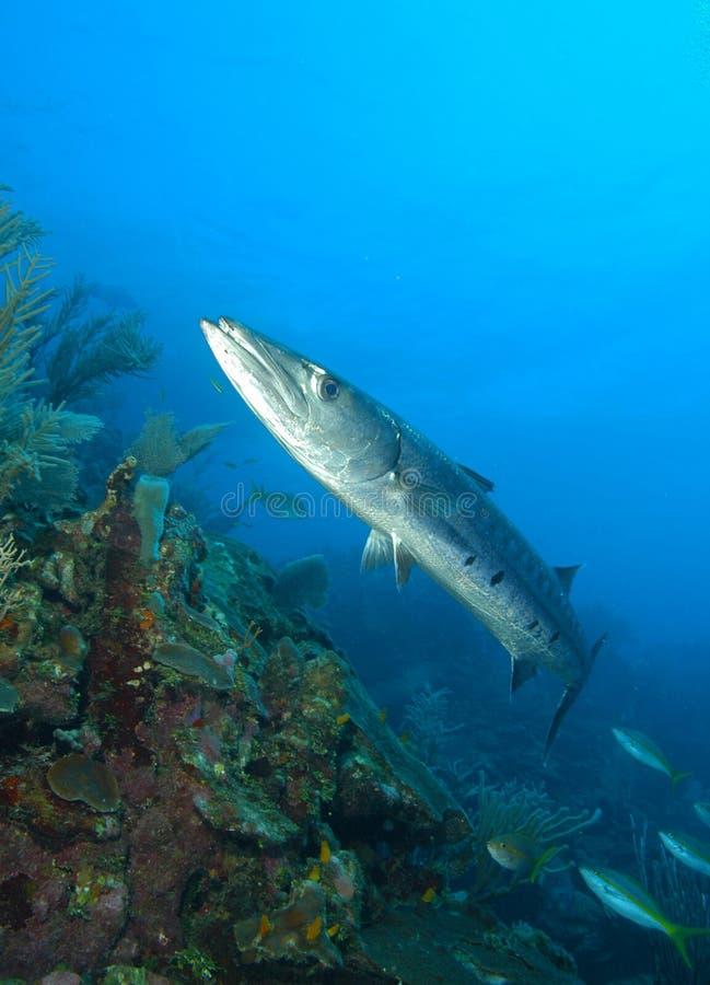 Barracuda lizenzfreie stockbilder