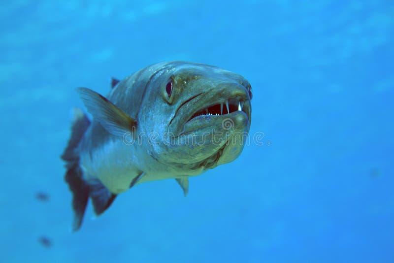 barracuda στοκ φωτογραφίες