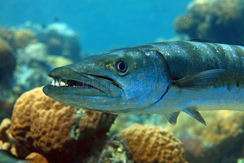 barracuda στοκ φωτογραφία