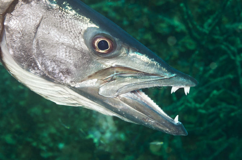 Barracuda στοκ φωτογραφία με δικαίωμα ελεύθερης χρήσης