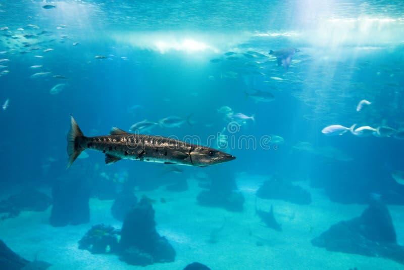 Barracuda adult in ocean habitat, single fish royalty free stock image