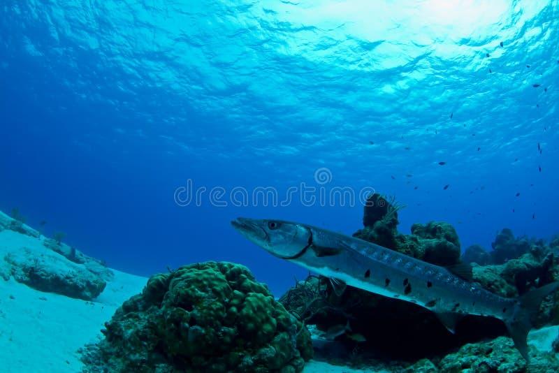 barracuda czekanie obrazy stock
