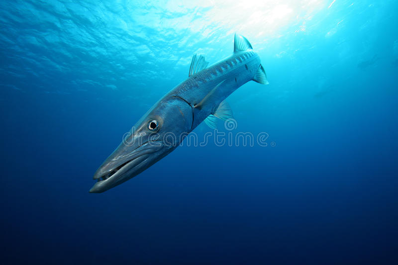 Barracuda en el azul fotografía de archivo libre de regalías