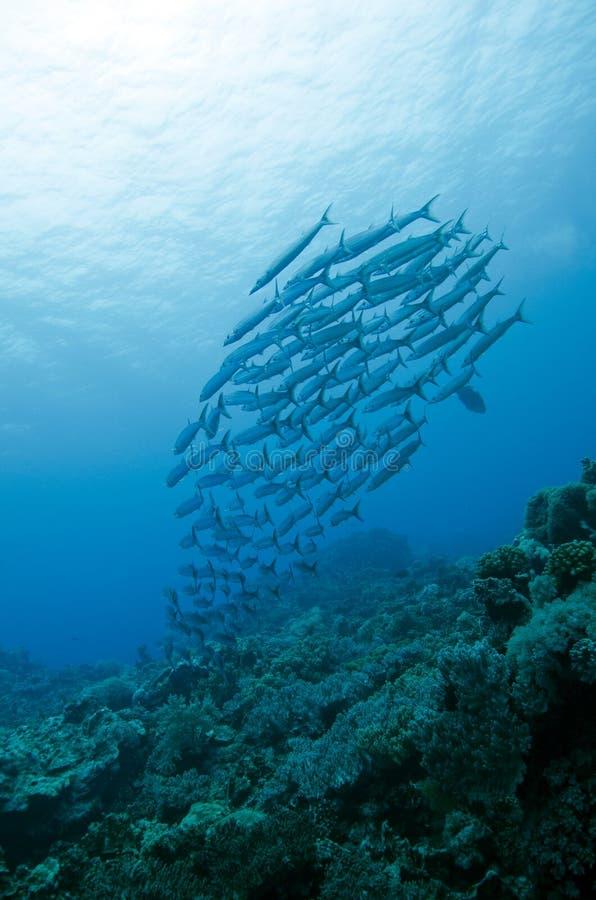 Barracuda en grupo fotos de archivo