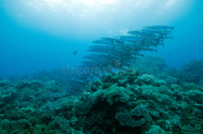 Download Barracuda In Group Stock Image - Image: 28743941