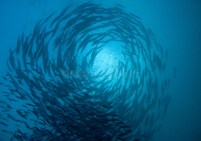 Barracuda school circling royalty free stock photography