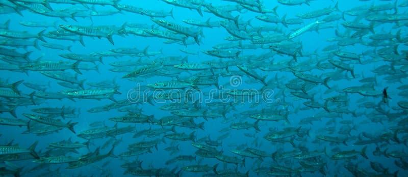 Barracuda szeroki strzał zdjęcie royalty free