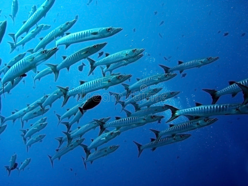 Barracuda underwater stock images