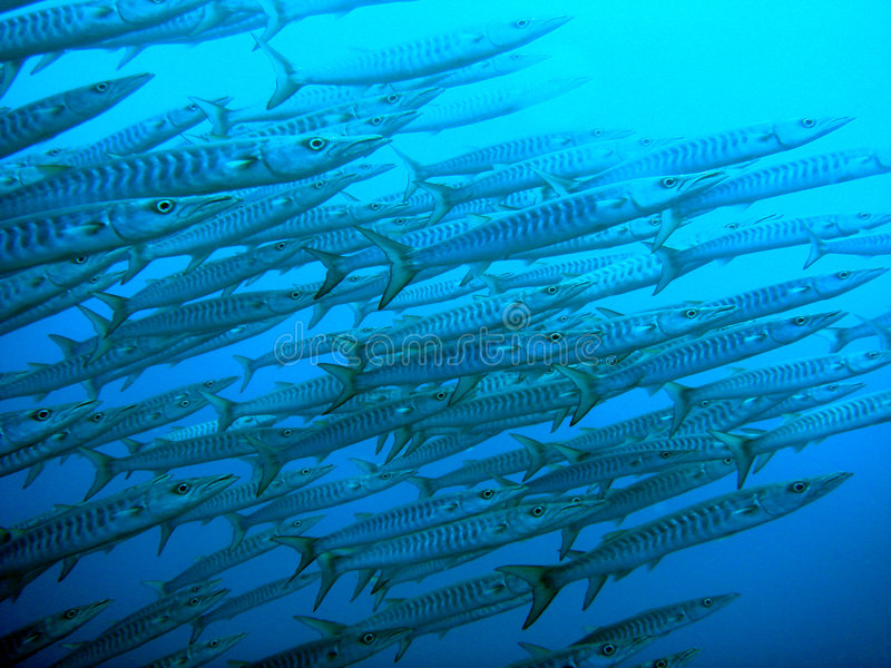 Barracudas swimming to surface stock image
