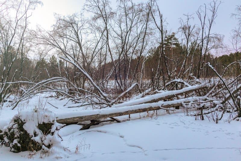Barrage de castor dans la forêt d'hiver photo stock
