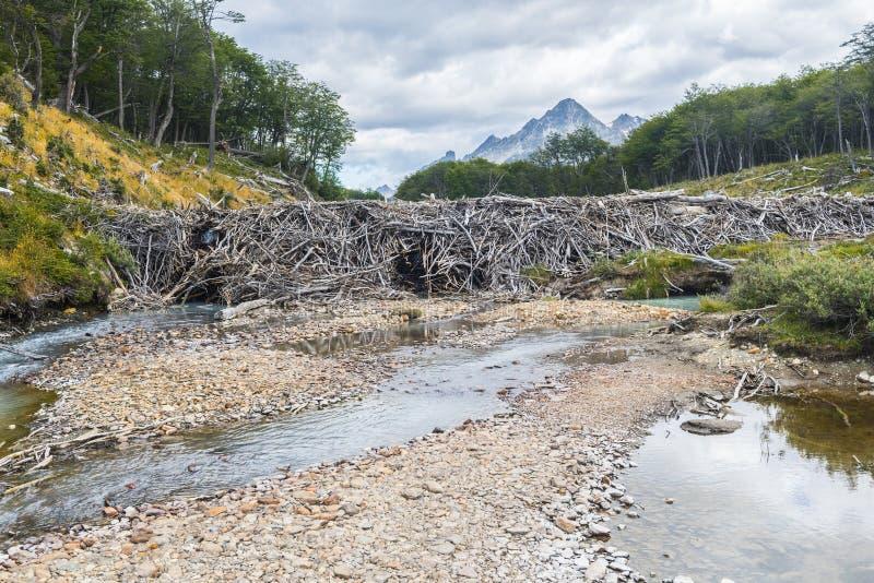 Barragem de castor em uma pista de Laguna Esmeralda em Tierra del Fuego foto de stock royalty free