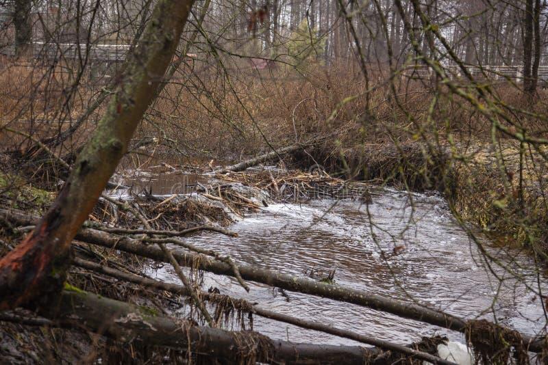 Barragem de castores feitos no rio, vista da frente fotos de stock royalty free