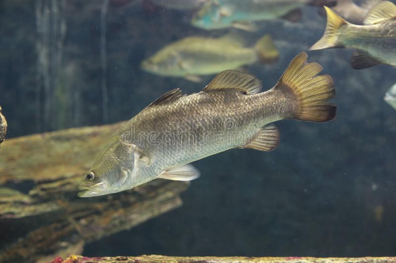 Barramundi fish. The barramundi or Asian sea bass (Lates calcarifer) is a species of catadromous fish in family Latidae of order Perciformes. The species is stock images
