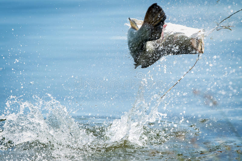 Barramundi hoppar in i luften royaltyfri foto