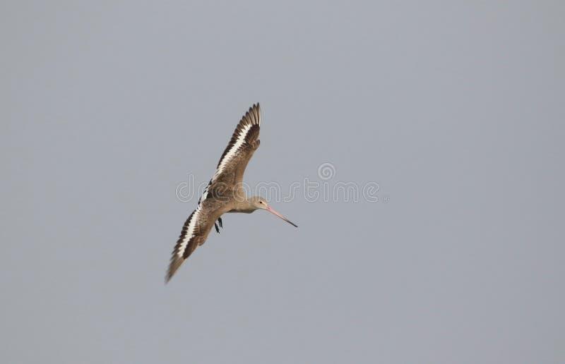 Barre - oiseau coupé la queue de godvit photographie stock libre de droits