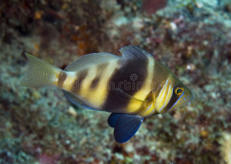 Barred Hamlet. Blue Hamlet-Hypoplectrus puella, picture taken in south east Florida royalty free stock photo